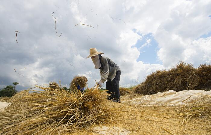 Paddy straw is valuable biomass